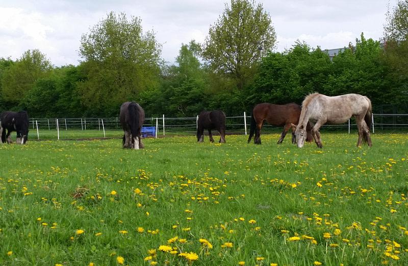 Onze paarden